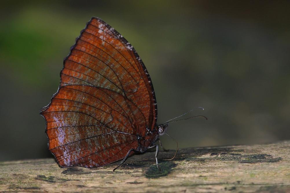 19-紫蛇目蝶