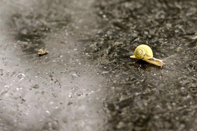 Un escargot sur fond de table noire