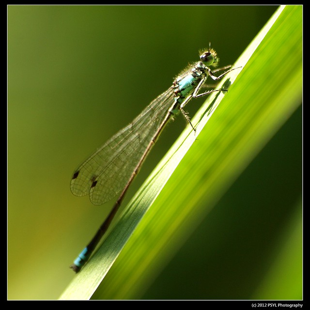 Unknown Female Damselfly (Family Coenagrionidae)