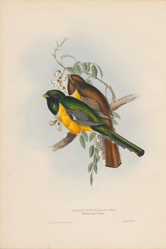 1830s ornithological plate from science book by John Gould