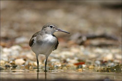 massachusetts waldenpond shorebird wader spottedsandpiper actitismacularia