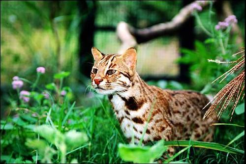石虎是台灣僅剩的貓科動物,雲豹雖然按一下這裡以增加描述也是,但一般認為已從台灣島上消失。(田秋堇立委辦公室提供)