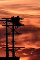 Osprey on Nest_5081.jpg by Mully410 * Images