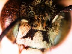 鞋斑無墊蜂(A. zonata)(徐翰慈攝)
