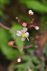 圓葉布勒德藤(B. hirsuta)之4片花瓣及8枚突起的雄蕊。