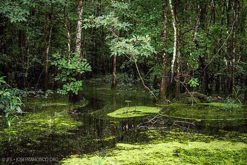 usa tree verde green us flora nikon louisiana pantano swamp árbol nikkor wetland d4 humedal maurepas livingstonparish 2470mmf28g headofisland 201207216262