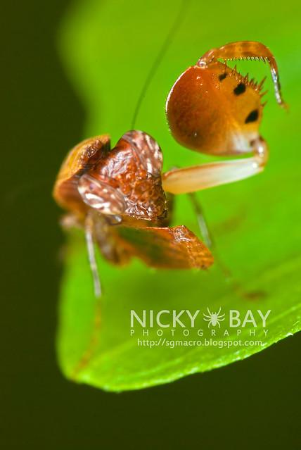 Boxer Mantis (Otomantis sp.?) - DSC_6508