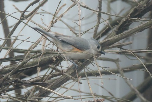 #36 Tufted Titmouse (Baeolophus bicolor)