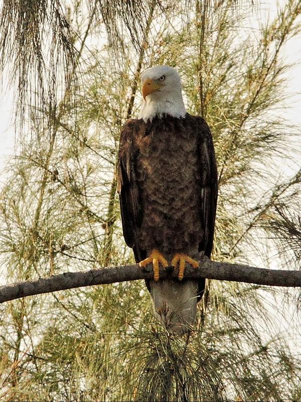 Bald Eagle male 3-20140328