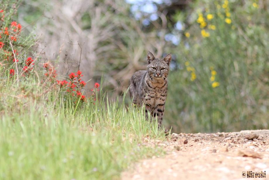 Bobcat-041014