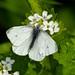 green-veined white by Sabinche