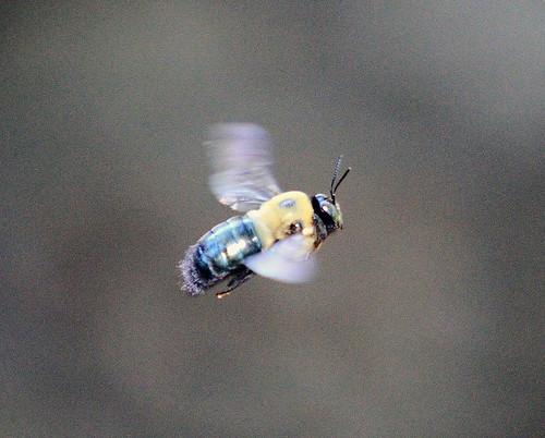 Flying_Bumble_Bee1
