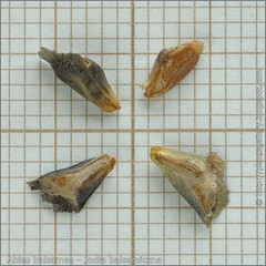 Abies balsamea seeds - Jodła balsamiczna nasiona