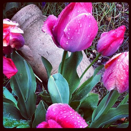 Tulipes sous la pluie