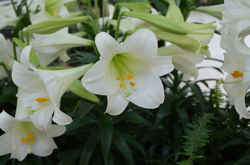 Conservatory Lilies