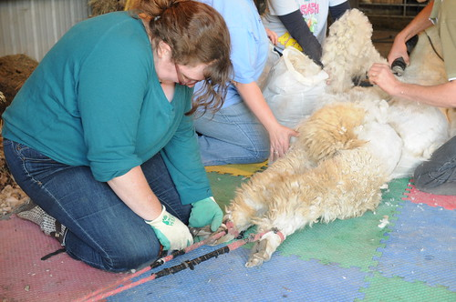 Alpaca Shearing 2012