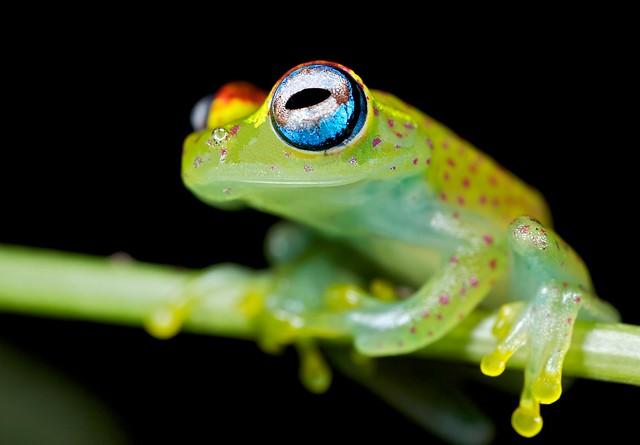 polk-a-dot frog (Boophis tasymena)