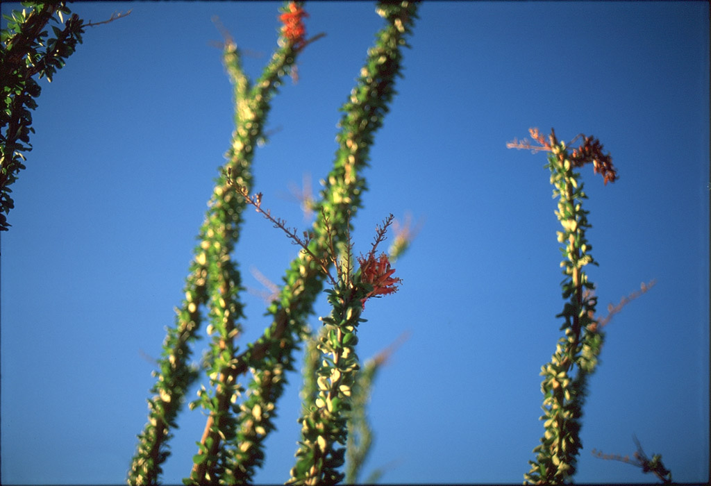 Ocotillo sunrise, Andrew D. Barron©1/9/12
