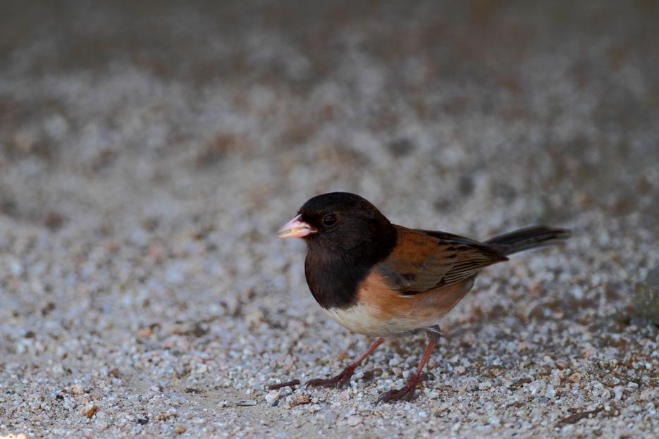 042112_01_bird_junco