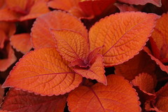 Cool Copper Coleus