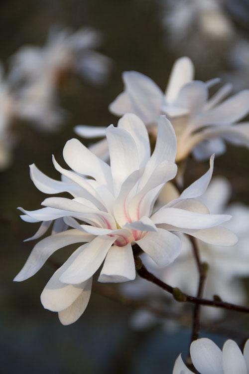 Magnolia Stella