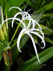 galanthus(0.0), grass(0.0), galanthus nivalis(0.0), hymenocallis(1.0), flower(1.0), leaf(1.0), hymenocallis littoralis(1.0), plant(1.0), flora(1.0), plant stem(1.0),
