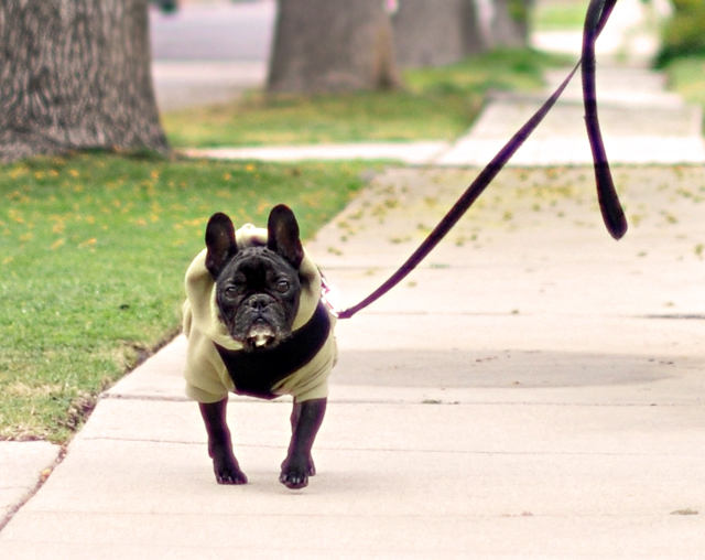 french bulldog walking in  a  hooody sweatshirt