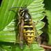 Vespula vulgaris (Common Wasp)