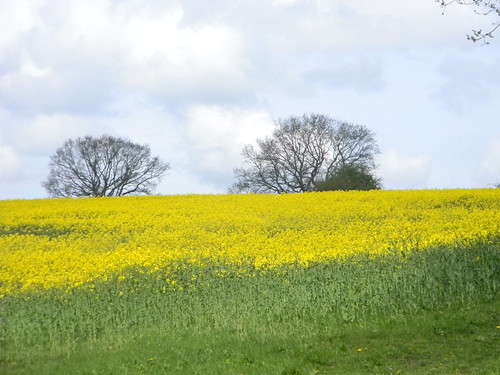 Rapefield with trees