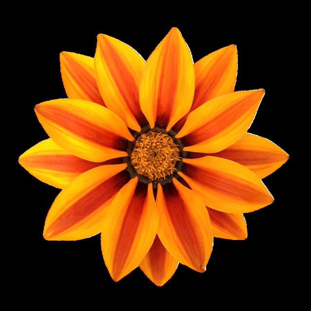 Gazania Flower - Magnificence of expression - Png file. Attention only the maximum original size is in png format