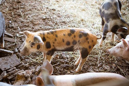 Polyface Farm 2012-0136.jpg