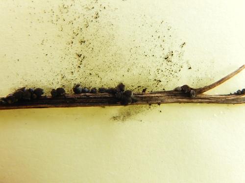 Lamproderma zonatum (névé Cormet de Roselend) déterminé par Marianne Meyer