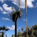 Sotol inflorescence (on the right), Soaptree Yucca (the 2 inflorescences on the tall trunk) and Palms - Sotol, Yuca y Palmas; al sur de Zapotitlán Palmas, Región Mixteca, Oaxaca, Mexico por Lon&Queta