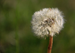 Nothing is perfect, not even a dandelion