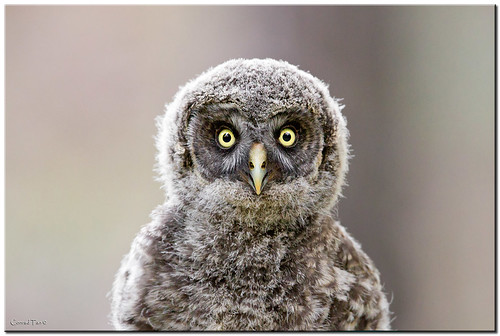 Great Grey Owlet