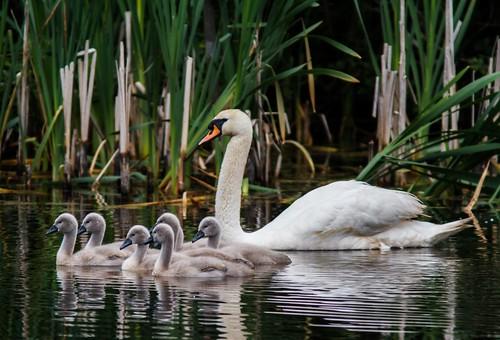 無料写真素材, 動物 , 白鳥・ハクチョウ, 雛・ヒナ, 動物  親子