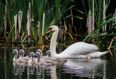 [Free Images] Animals 2, Swans, Chick, Animals - Parent and Child ID:201207031800