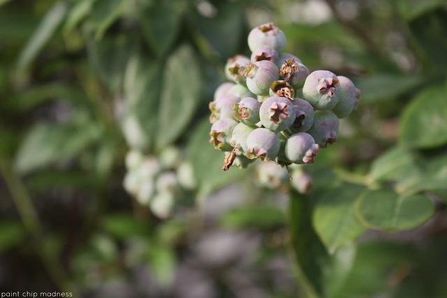 ripening
