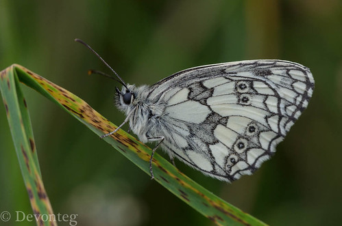 Marbled white ( for ODC 'things with wings')