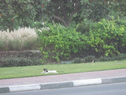 Dubai Cat