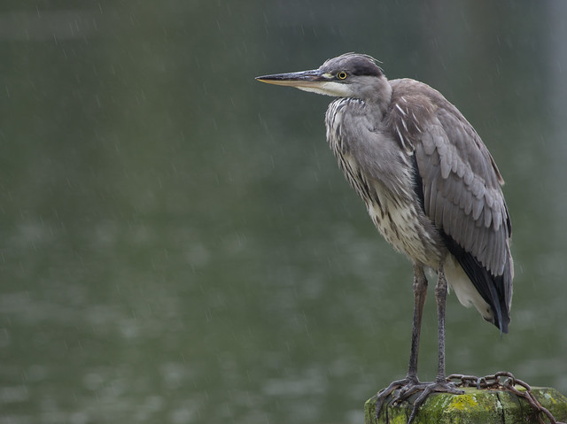 Grey heron in the rain 7