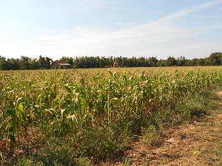 Drought Stressed Corn 006