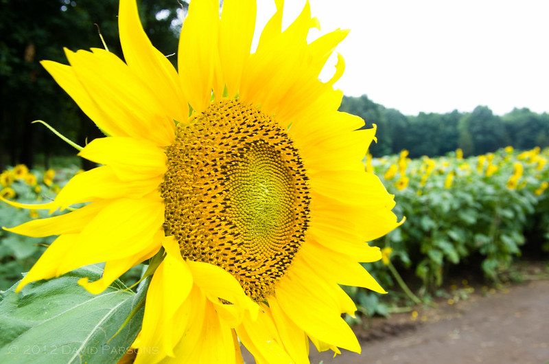 Buttonwood Farms - Sunflower