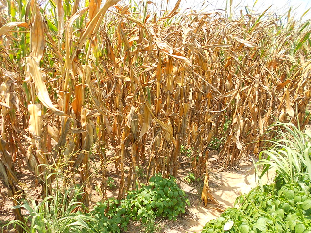 Drought Stressed Corn Western Tennessee/Kentucky Border