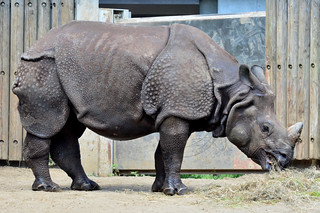 Image of インドサイ near Hino. zoo 動物園 tamazoo tamazoologicalpark 多摩動物園