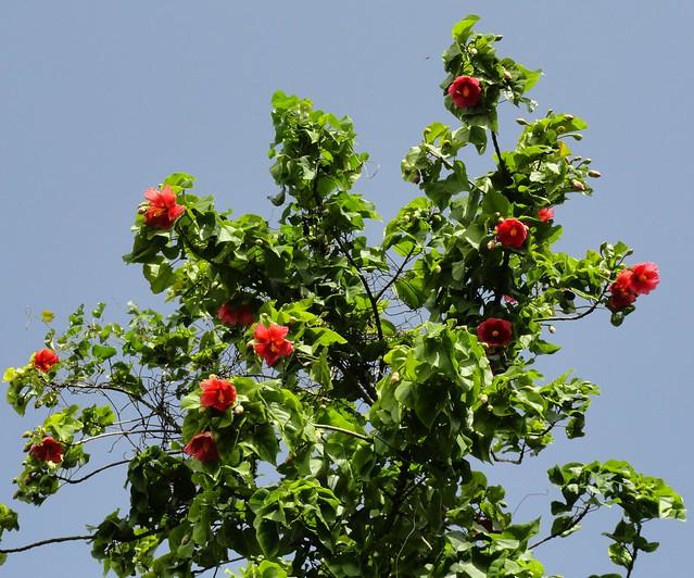 Thespesia grandiflora rbol de maga puerto rico flickr for Arboles de jardin fotos