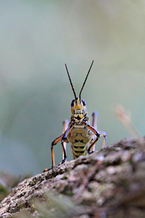 072612_09_bug_grasshopper02