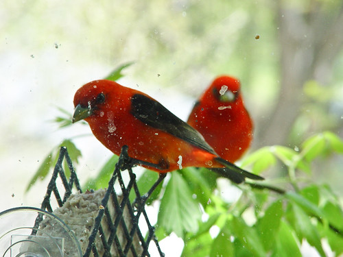 Scarlet Tanager at suet