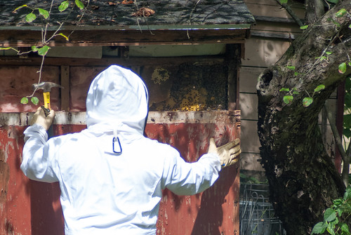Removing a colony of bees living inside a wall