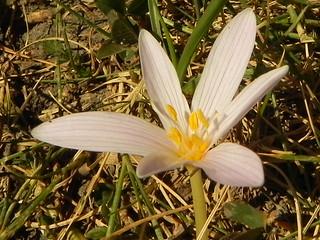Colchicum alpinum=Colchique des Alpes